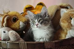 Norwegisches Waldkatzen-Manneskätzchen Stockbild