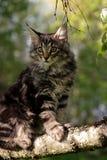Norwegisches Waldkatzenkätzchen im sonnigen Garten stockfoto