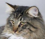 Norweger-Forest Cat-Porträt Lizenzfreie Stockfotografie