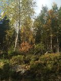 norwescy drewna fotografia stock