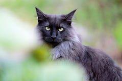 Norweska lasowa kot samiec outdoors w ogródzie zdjęcia royalty free