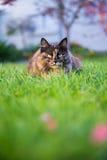 Norweski lasowy kot Obraz Stock