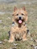 Norwich Terrier Royalty Free Stock Photography