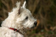 Norwich terrier. A white norwich terrier Royalty Free Stock Images