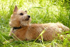 Norwich Terrier on green grass in the garden.  stock image