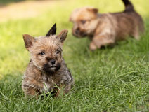 Norwich terrier puppies Stock Photography