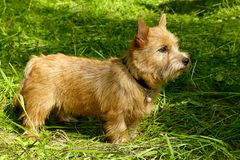 Norwich Terrier puppy in the grass in summer outdoor background.  royalty free stock image