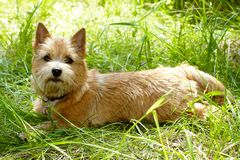 Norwich Terrier puppy in the green grass.  stock photos