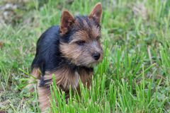Norwich terrier puppy is playng on a green meadow. Pet animals. Close up royalty free stock photos