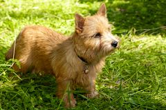 Norwich Terrier puppy stands in the green grass.  stock photos