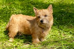Norwich Terrier puppy stands in the green grass stock photo