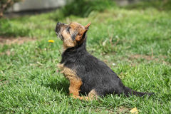 Norwich terrier sitting in the garden Royalty Free Stock Images