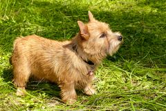 Norwich Terrier stands in the green grass.  stock photo