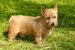 Norwich Terrier stands in the green grass.  stock photography