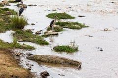 Nos bancos de Mara River em Kenya África Imagem de Stock Royalty Free