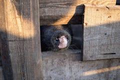 Nos domowa czarna świnia między płotowymi deskami obrazy stock