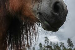 Nos, kaganiec koń/ fotografia royalty free