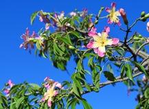 Nos ramos de flores cor-de-rosa de florescência de uma árvore fotografia de stock royalty free