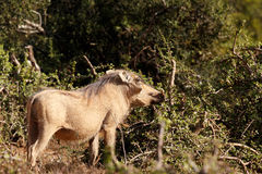 Nosa up - Phacochoerus africanus pospolity warthog Zdjęcie Stock