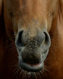 Nose. Horse with big nose and smile Stock Photo
