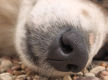 Nose. Very cute dog nose. It was lieing on the groung and sleeping Stock Photography