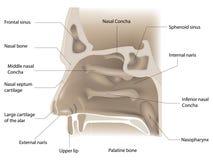 Nose anatomy Stock Photo
