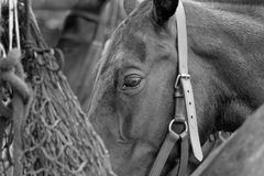 Nose in the Bag. A Horse eats hay from a bag whilst tethered to a lorry at the polo royalty free stock image