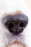 Nose of a beagle Stock Photography