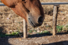 Nose of brown horse Stock Image