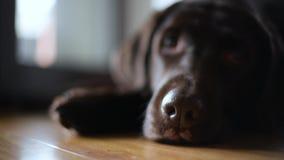 The nose of the brown labrador retriever moves with breath. Selective focus