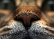 Nose of a cat Royalty Free Stock Image