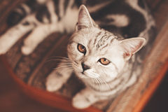 Nose of cat lying on chair Royalty Free Stock Photo