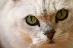 Nose closeup photo with eyes of  silver colour cat. Close-up portrait of a British silver-colour cat with big green eyes Stock Photo