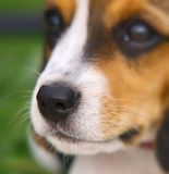 Nose of cute Beagle puppy Royalty Free Stock Photo