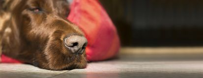 Lazy dog nose. Nose of a cute lazy Irish Setter dog Royalty Free Stock Images