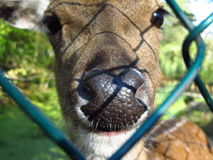 Nose of deer Stock Photo