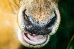 Nose of deer Royalty Free Stock Photo