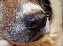 Nose of dog. Stock Images