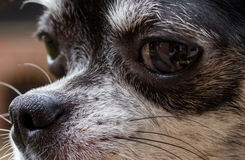Nose of dog, my lovely chihuahua. Stock Photos