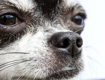 Nose of dog, my lovely chihuahua Royalty Free Stock Photography
