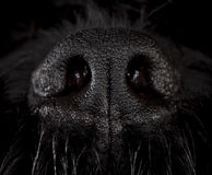 Nose of the dog. Snout dog of russian terrier breed in studio Royalty Free Stock Photos