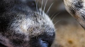 Nose and face hair of a sleeping dog stock images