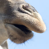 Nose giraffe Royalty Free Stock Images