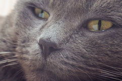 Nose gray cat macro with blurred background.  Royalty Free Stock Photography