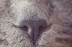 Nose gray cat macro with blurred background.  Stock Photography
