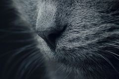 Nose of gray cat a very close. macro. The nose of gray cat a very close. macro royalty free stock photos