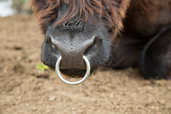 Nose of hairy cow. Stock Photography