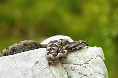Nose horned viper basking on a rock in natural habitat Stock Photo