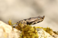 Nose horned viper closeup of headnose horned viper closeup of head Stock Image