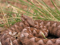Nose horned viper portrait Royalty Free Stock Photography